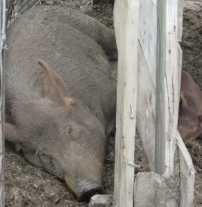 Two happy pigs getting their rest...